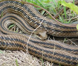 シマヘビの画像 p1_3