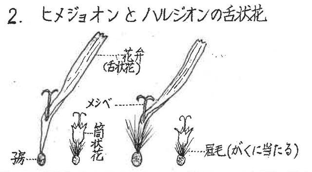ヒメジョオンとハルジオンの舌状花