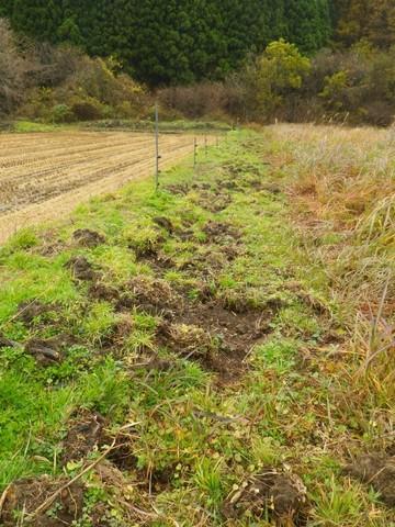 イノシシが土を掘り起こした写真